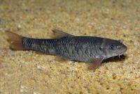 Garrarufas 3-4 cm (100 peces)