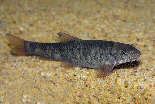 Garrarufas 3-4 cm (150 peces)
