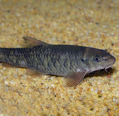 Garrarufas 5-6 cm (200 peces)